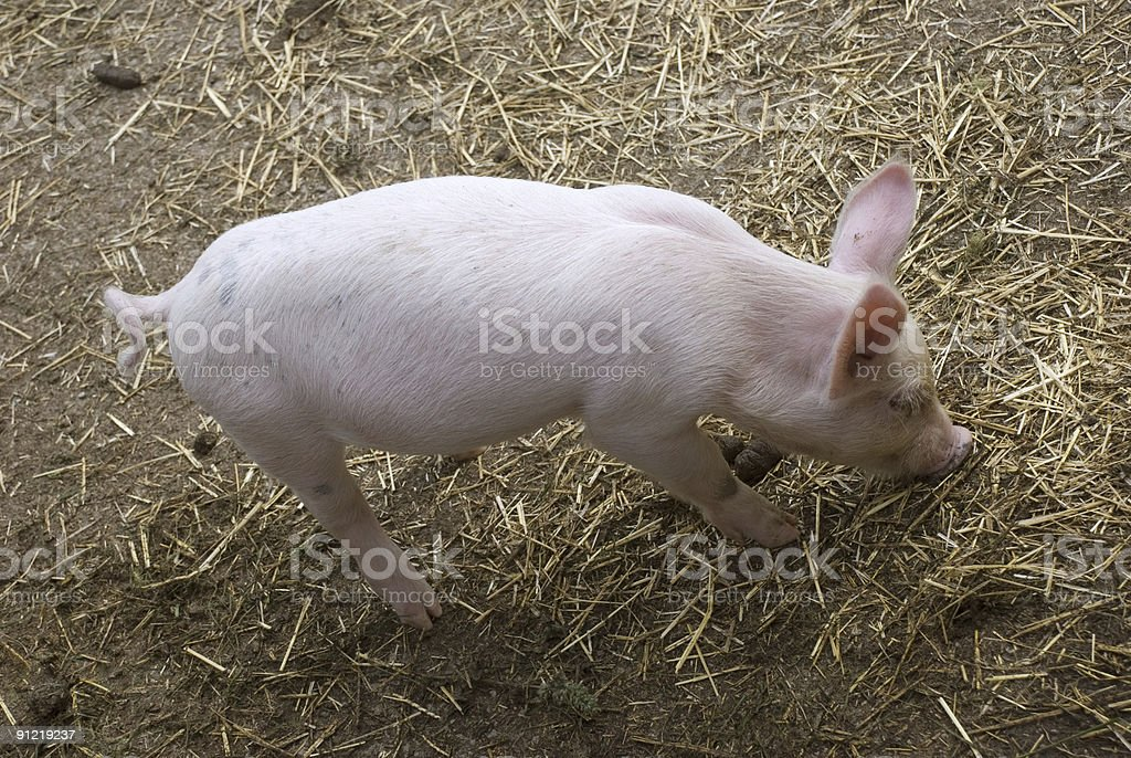 Young piglet royalty-free stock photo