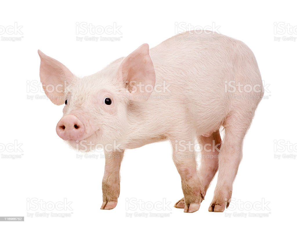 Young piglet smiling on a white background stock photo