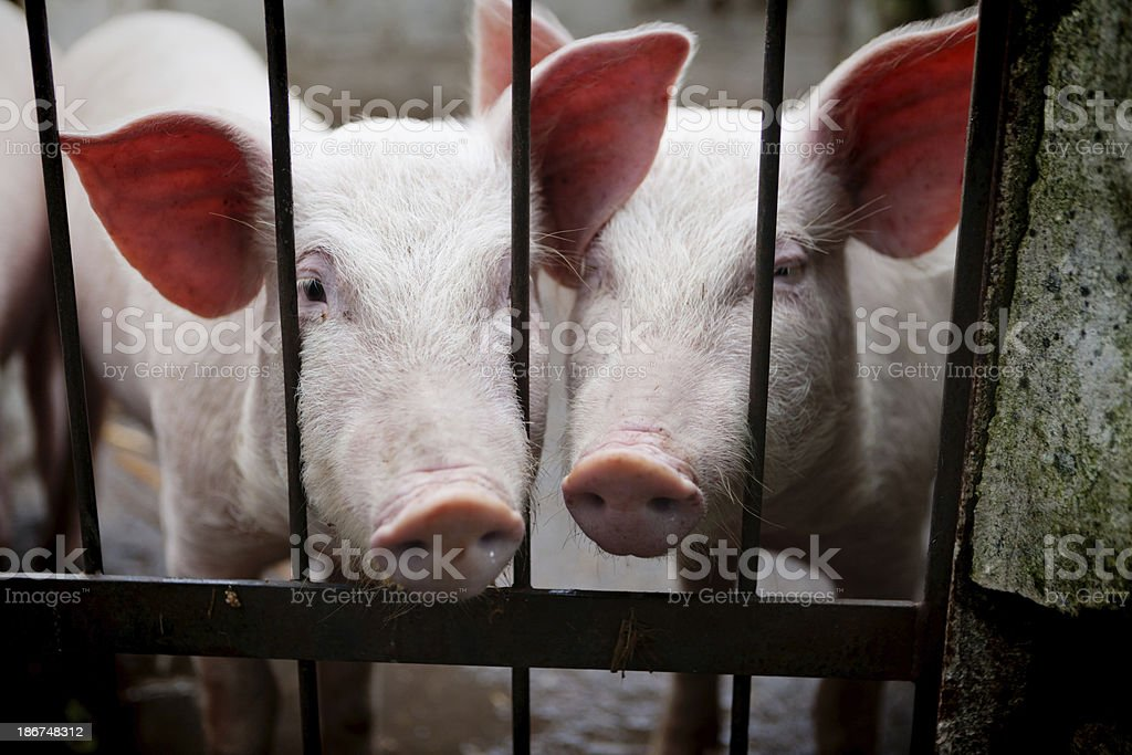 Young pigs behind bars stock photo