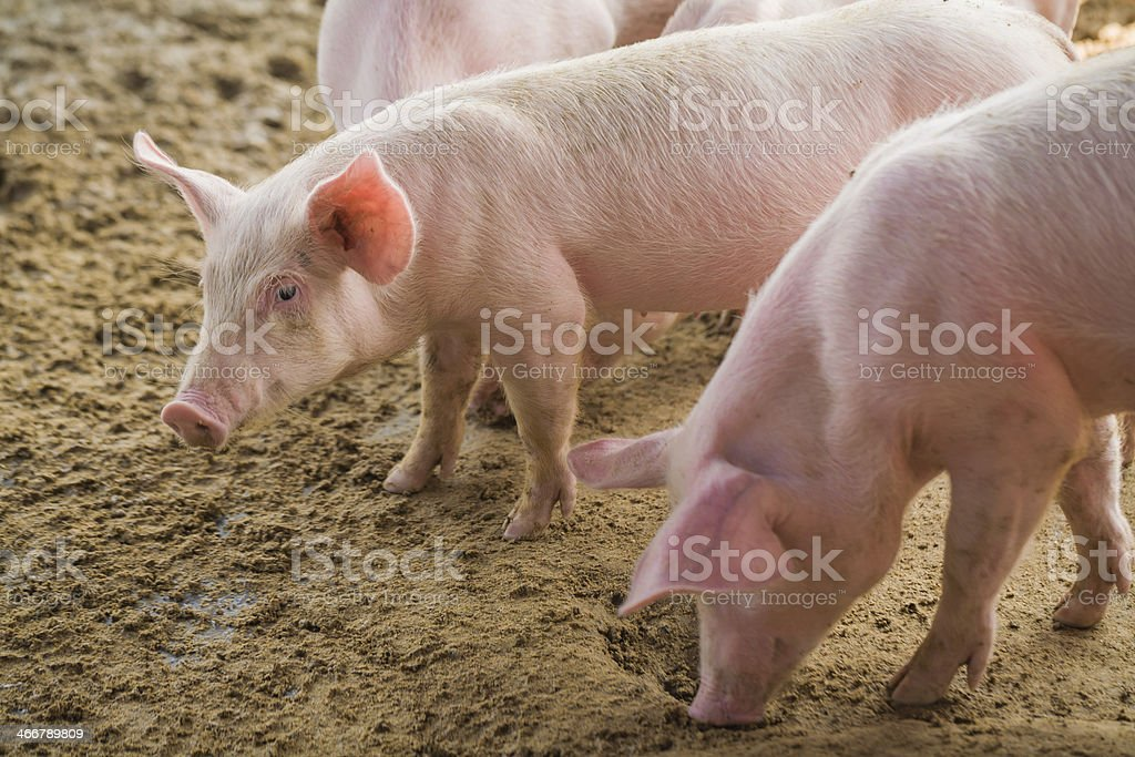 Young pigs on the farm stock photo