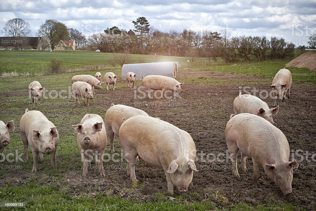 young pigs outdoors. stock photo