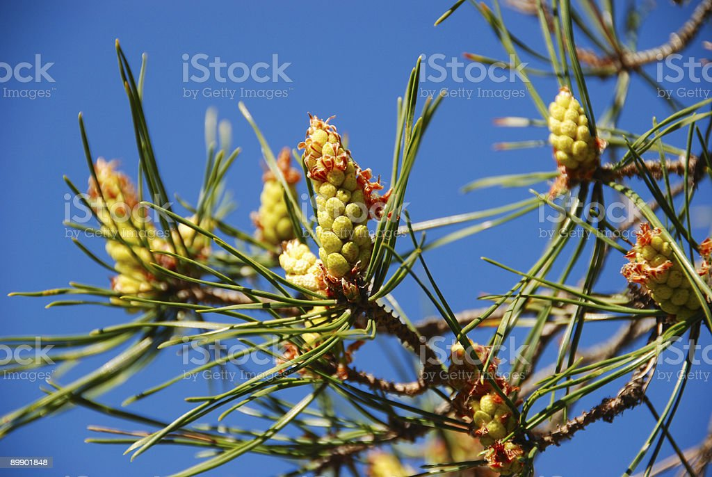 Young pine cones royalty-free stock photo