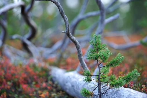 Young pine tree beside dead tree trunk