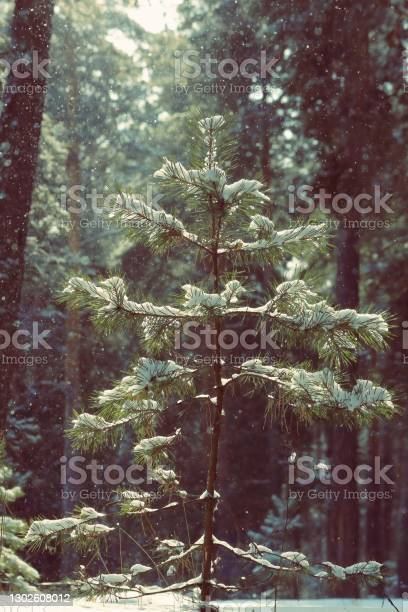 Photo of Young pine tree in a ray of sunlight and flying snowflakes in a pine forest. Magical winter landscape of chiaroscuro, snowflakes and pine forest.