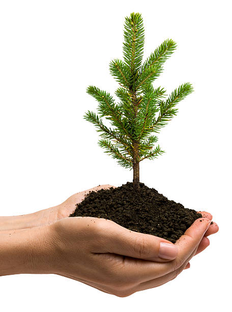 Young pine tree Young pine tree on hands, isolated on white, sapling stock pictures, royalty-free photos & images
