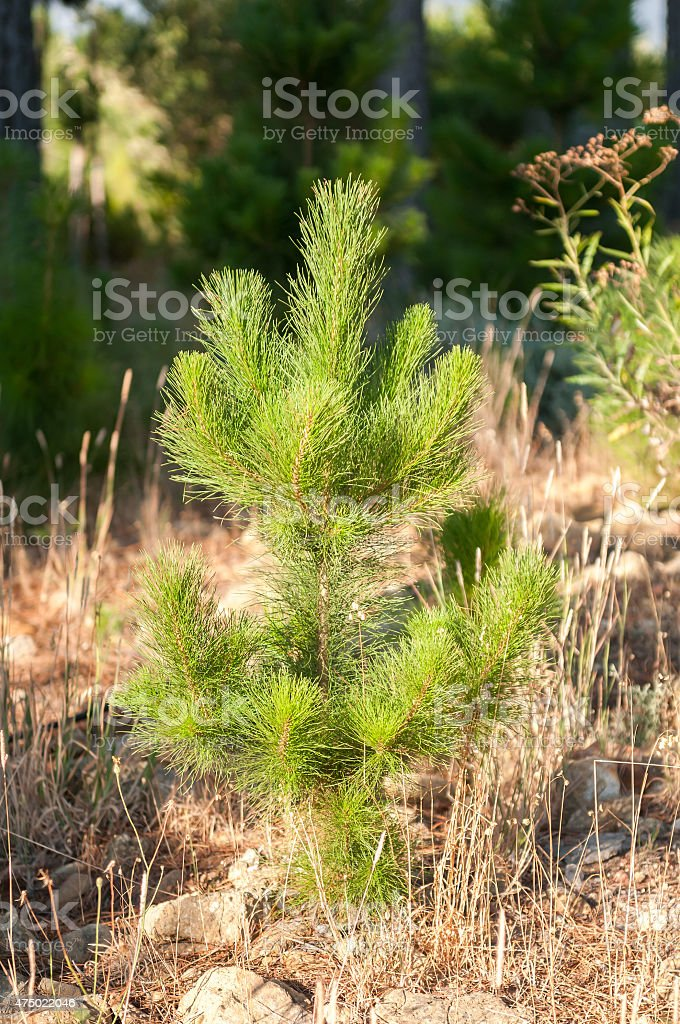 Young pine tree stock photo