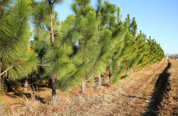 Young pine trees growing in a straight line stock photo