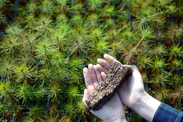 young pine trees in your hands. - wiederaufforstung stock-fotos und bilder