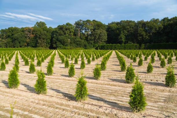 jonge dennenbomen - herbebossing stockfoto's en -beelden