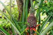 The pineapple fruit - tropical plant at Sri Lanka