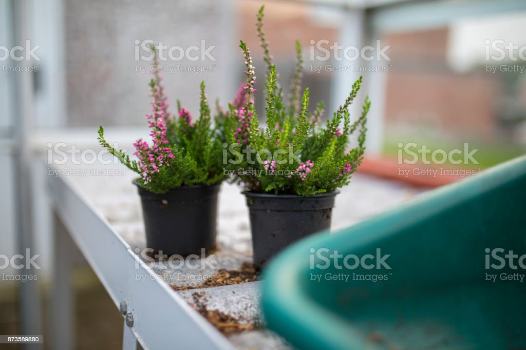 Young pink heather in plant pots taken in a green house or potting shed in England, UK stock photo