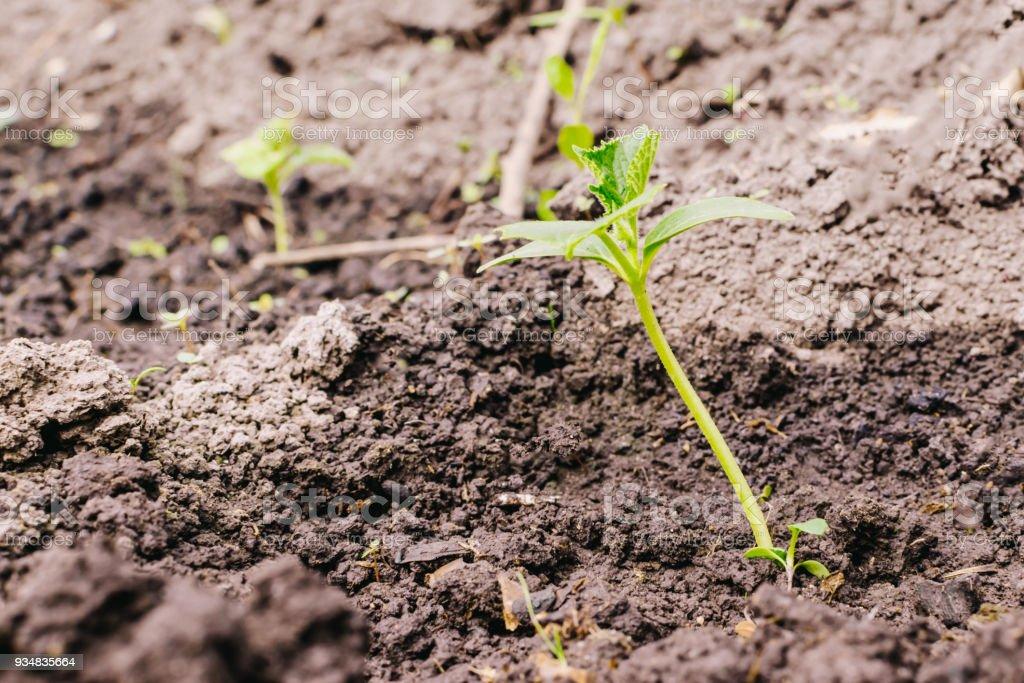 젊은 식물 오이 - 로열티 프리 0명 스톡 사진