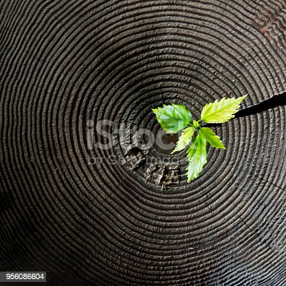 istock Young plant growing from old stump 956086604