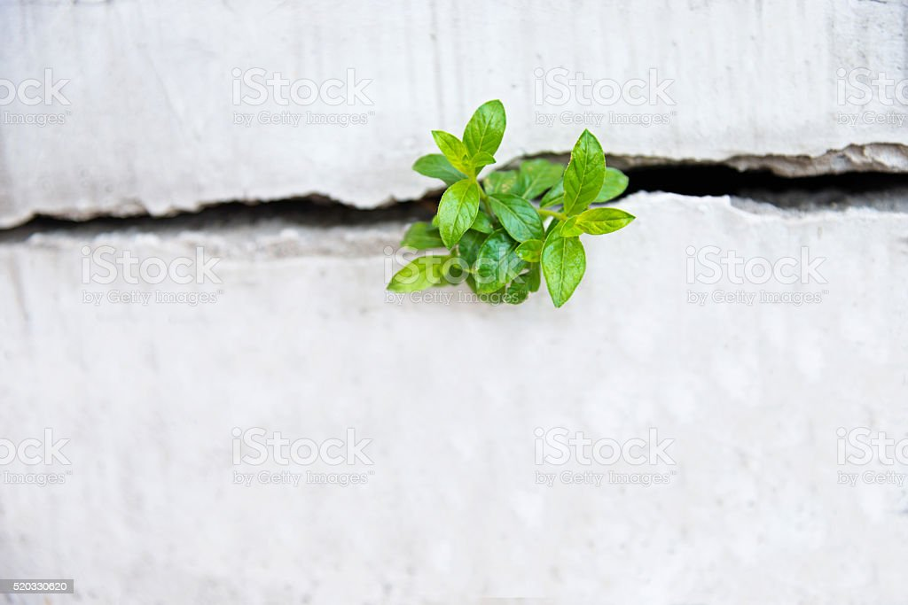 Young plant growing in a concrete wall stock photo