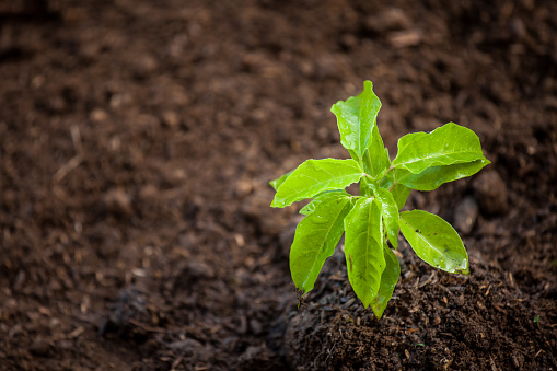 486530452 istock photo Young plant growing in soil 690415944