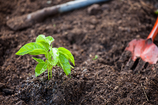 486530452 istock photo Young plant growing in soil with shovel 690415994