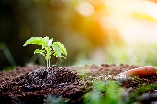 486530452 istock photo Young plant growing in soil with shovel 690416012