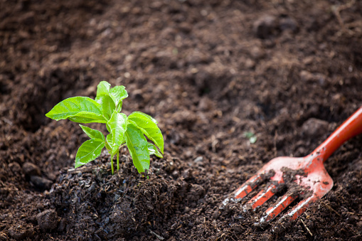 486530452 istock photo Young plant growing in soil with shovel 691338084