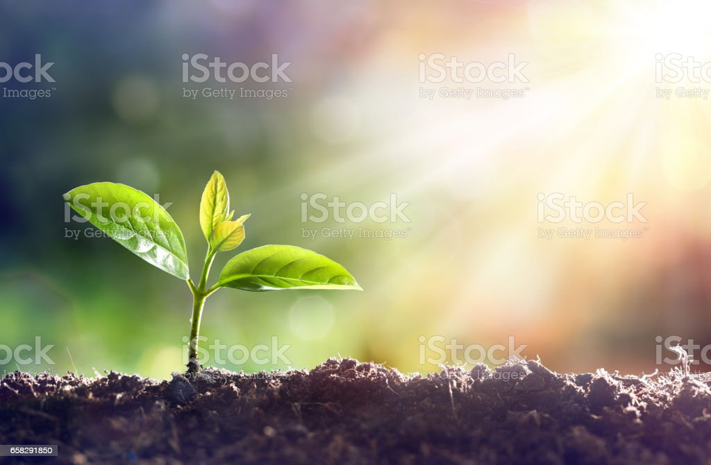 Young Plant Growing In Sunlight Young Sprout Grow In Dirt With Sun Agriculture Stock Photo