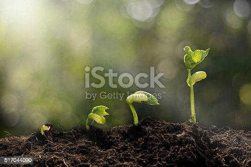 istock Young plant growing in the morning 517044090
