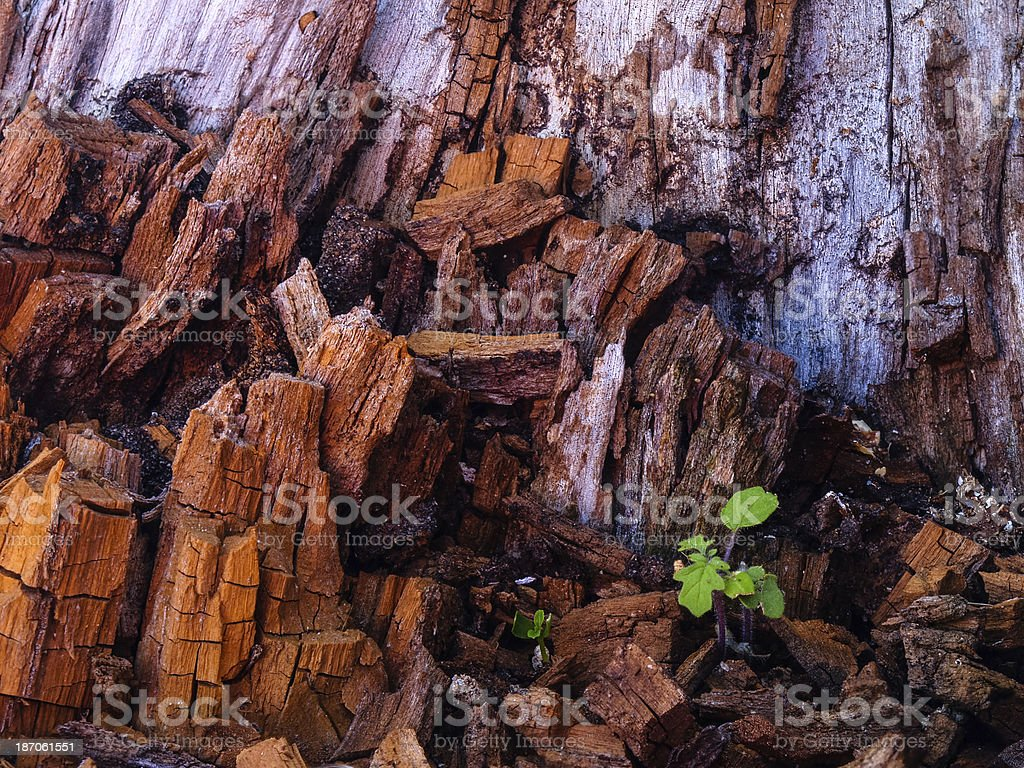 Young plant growing out of rotting stump, Paraguay, South Americ stock photo