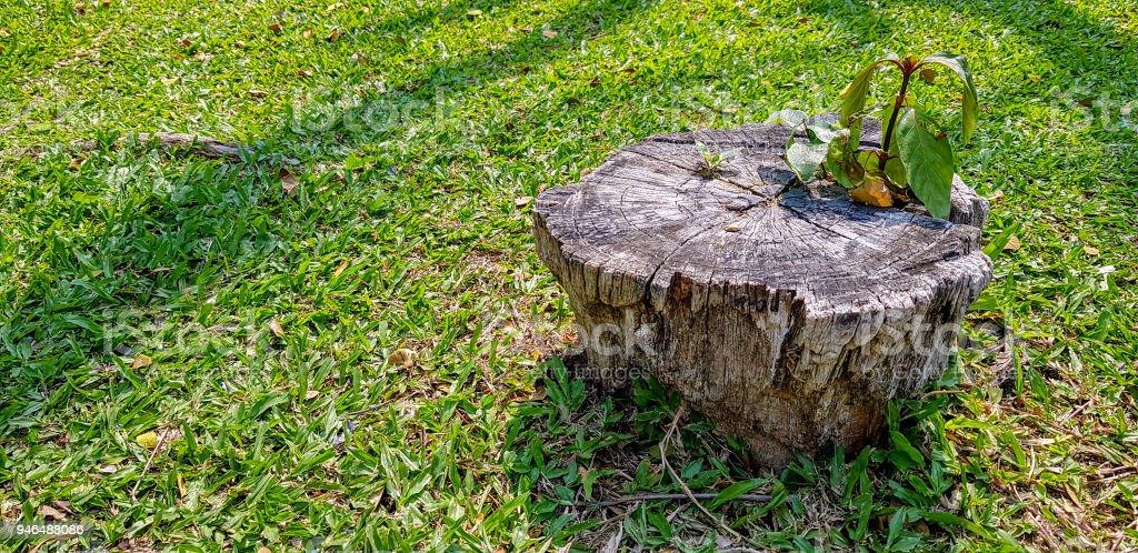 Junge Pflanze wächst über Toten Baumstumpf - Lizenzfrei Abgestorbener Baum Stock-Foto