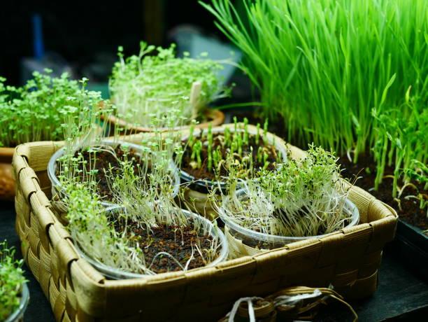 ung planta växer - pea sprouts bildbanksfoton och bilder