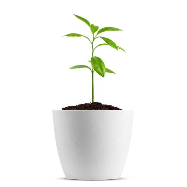 在白色背景上隔離的盆栽中的幼苗, 剪裁路徑, 全場深度 - 幼苗 個照片及圖片檔