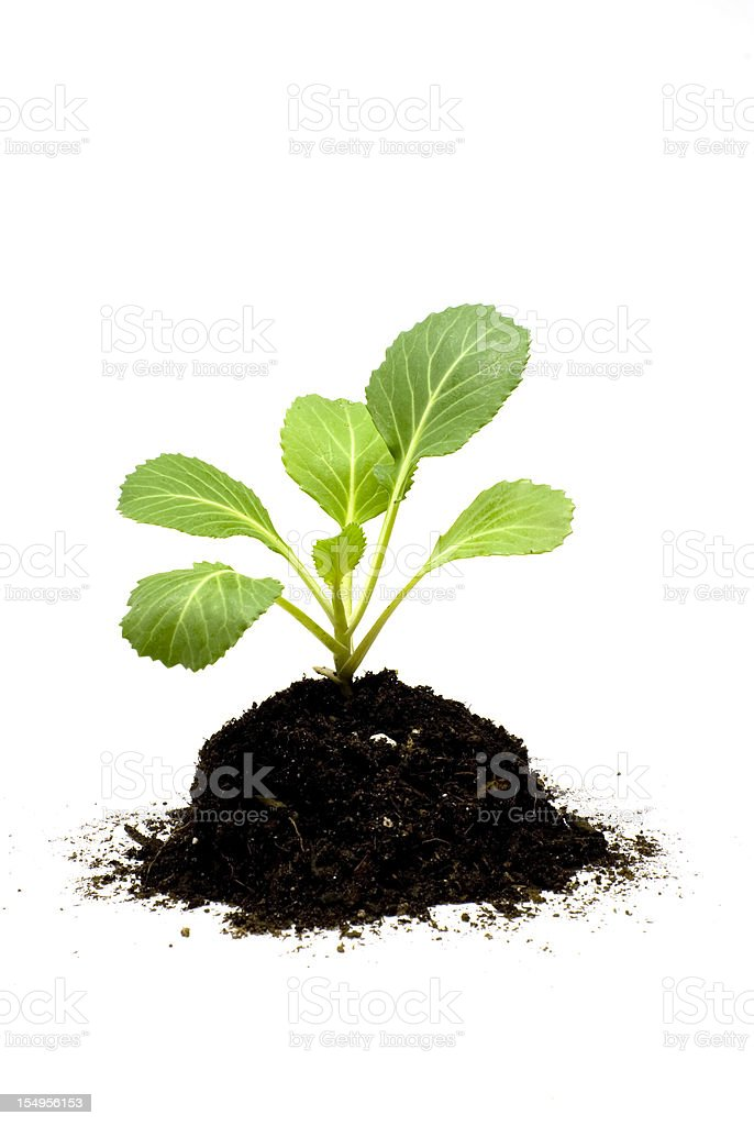 Young Plant in Soil royalty-free stock photo