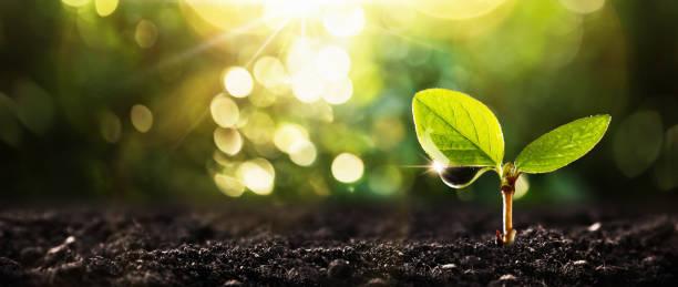 陽光下的年輕植物 - 幼苗 個照片及圖片檔