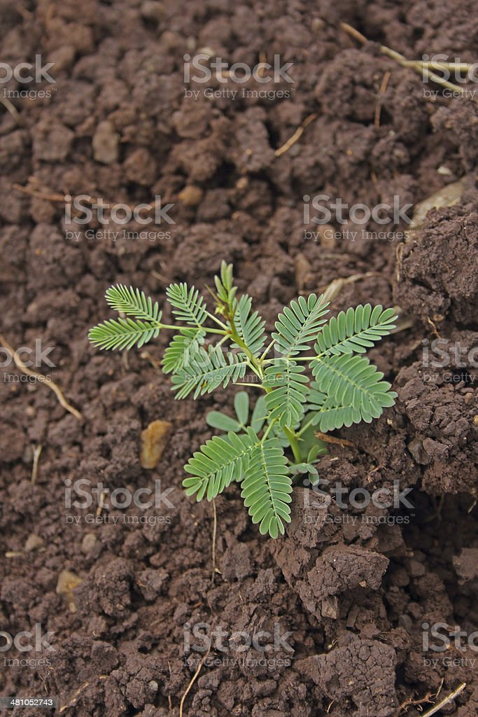 Young Plant of Acacia Nilotica stock photo