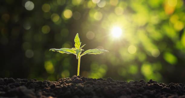 junge Pflanze von Cannabis im Garten mit Sonnenschein – Foto