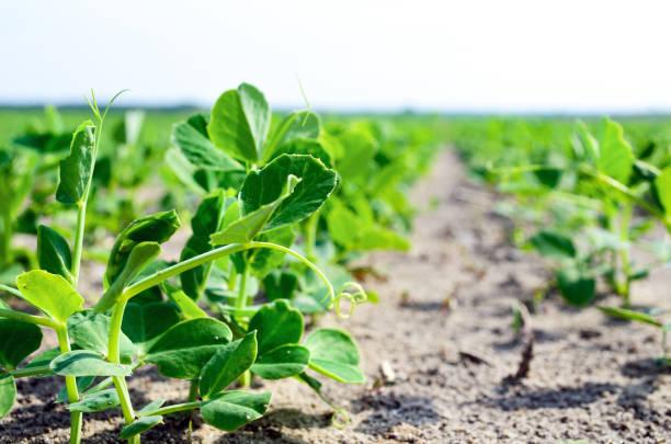 ung växt av gröna, vegetabiliska ärtor. ung växt av gröna ärtor i trädgården av tidig vår. unga vegetabiliska ärt växt på marken, pisum sativum. - pea sprouts bildbanksfoton och bilder