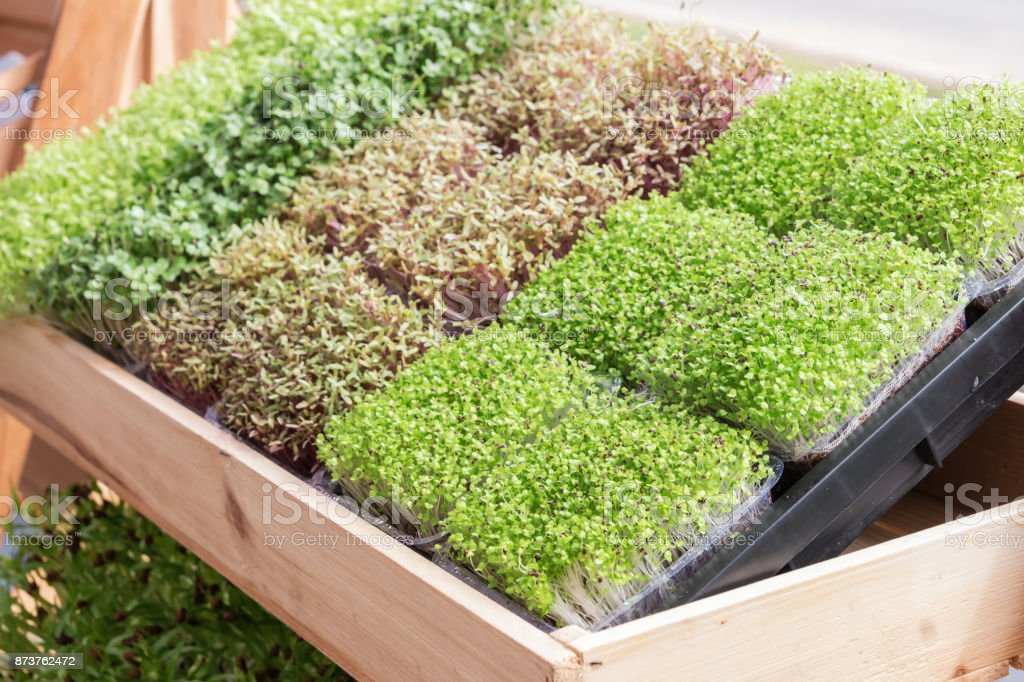 Young plant or sunflower sprout in Nursery Tray stock photo