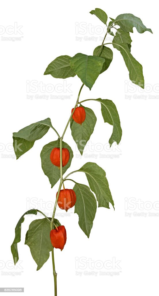 Young plant Physalis peruviana isolated on white background stock photo