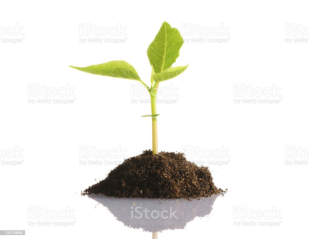 Young plant sprouting on a white background stock photo