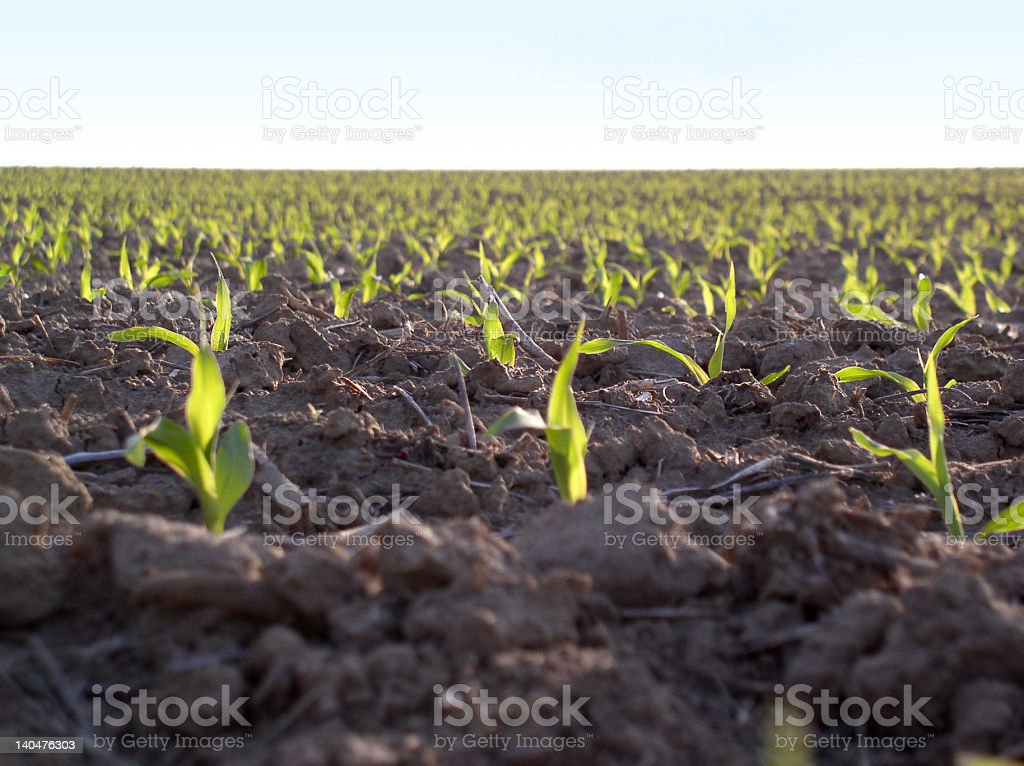 Young plants in large field royalty-free stock photo