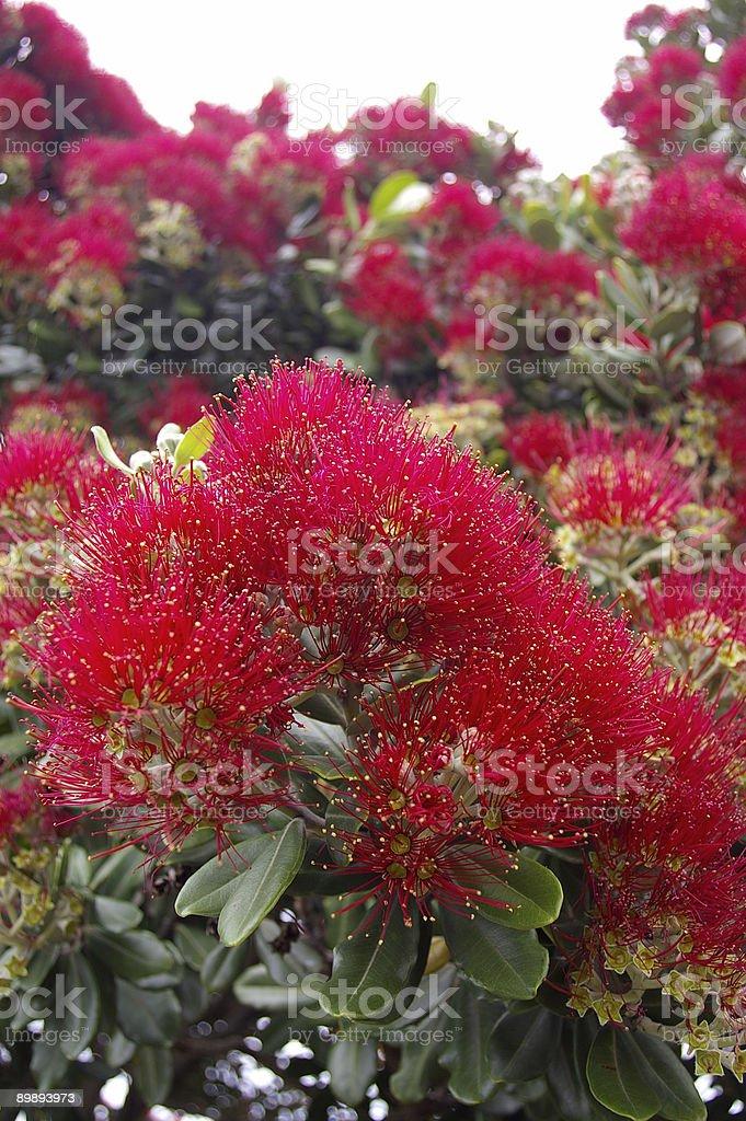 Young Pohutukawa Blossoms royalty-free stock photo