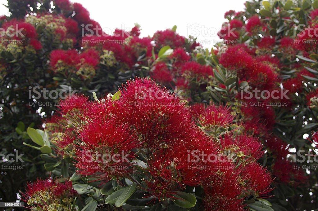 young Pohutukawa flores foto de stock libre de derechos