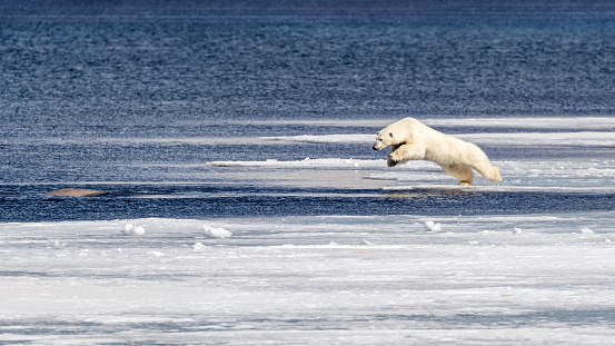 Young Polar Bear Takes On A Beluga Whale Stock Photo - Download ...