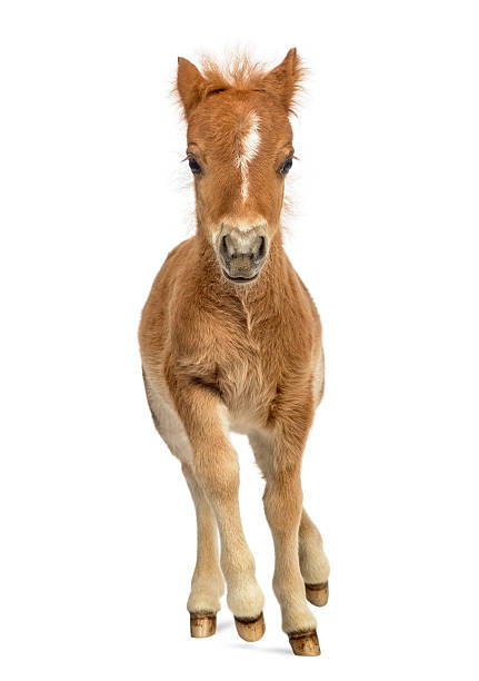 Young poney, foal trotting against white background Front view of a young poney, foal trotting against white background foal young animal stock pictures, royalty-free photos & images