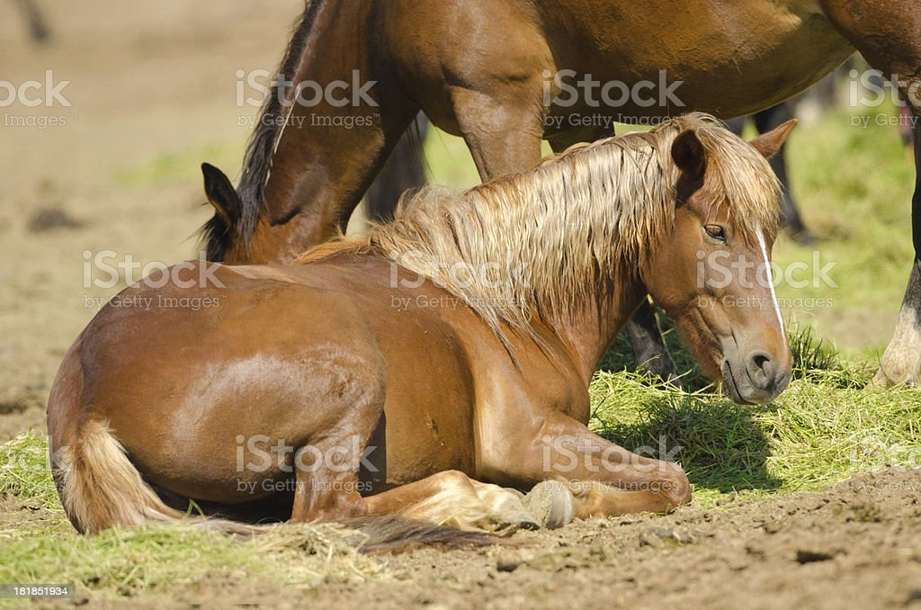 Young Pony Sitting with Mother Grazing at the Back royalty-free stock photo