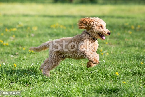 Apricot poodle in spring playing on the flower meadow, Vienna, Austria