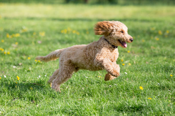 Young poodle running and jumping joyfully in a meadow. Apricot poodle in spring playing on the flower meadow, Vienna, Austria poodle stock pictures, royalty-free photos & images