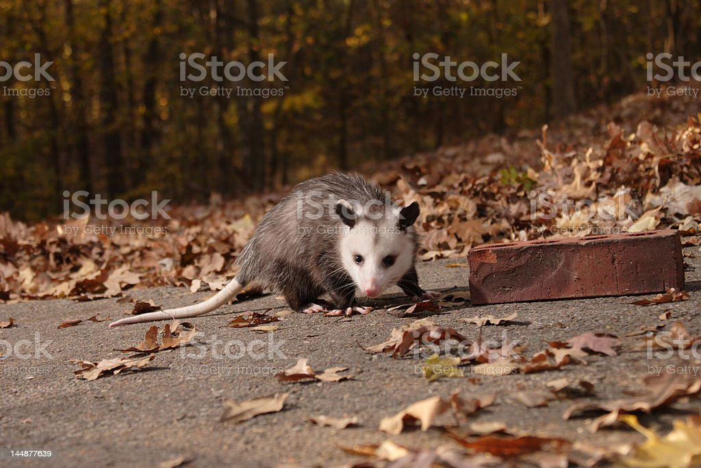 Young possum royalty-free stock photo