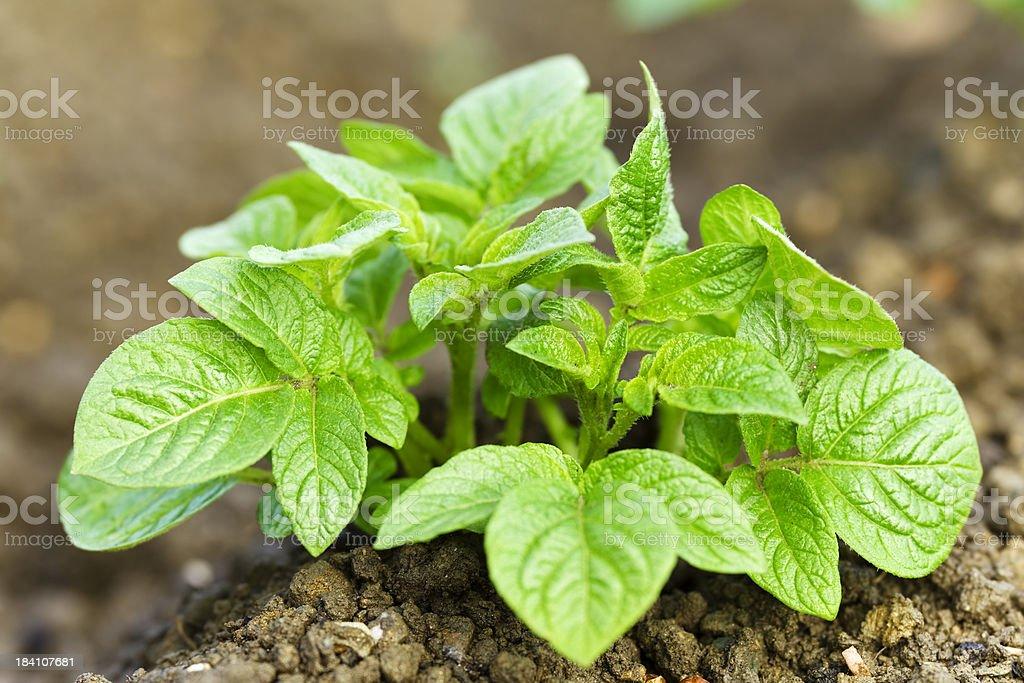 Young potato plant in garden soil royalty-free stock photo