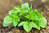 Young potato plant in garden soil