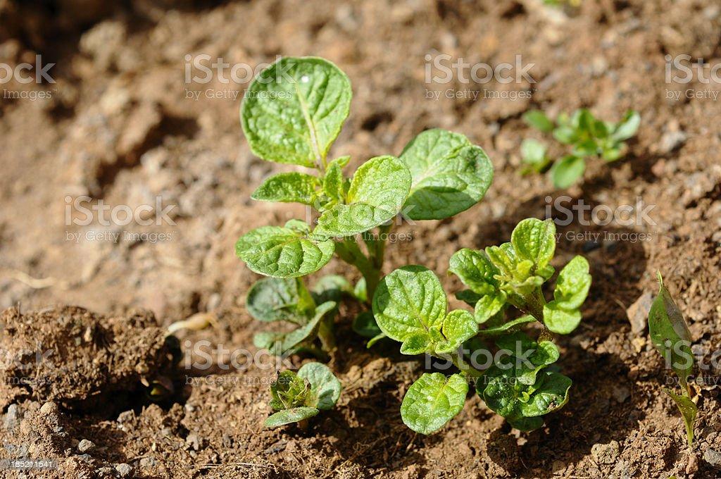 Junge Kartoffeln Plant – Foto