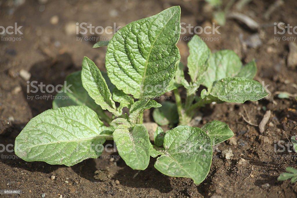 Young Potato Plant stock photo