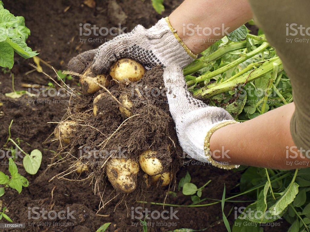 Young potatoes stock photo